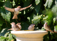 08-26-12 Gene's Bird Bath - Fun with House Sparrows