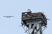 1001 Juvenile Osprey on one of two towers on Ryder's Cove Road - North Chatham, Cape Cod, MA 08-06-14