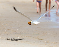 1002 Herring Gull in Breeding Plumage with a Bagel - The beach at Chatham Lighthouse - Chatham, Cape Cod, MA 08-06-14