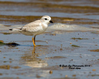 1022 Juvenile Piping Plover - Monomoy National Wildlife Refuge - Chatham, Cape Cod, MA 08-06-14