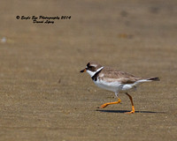 1024 Juvenile (?) Semipalmated Plover - Monomoy National Wildlife Refuge - Chatham, Cape Cod, MA 08-06-14
