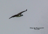 1013 Fledgling Ospreys first flight!!!  In a major thunderstorm she takes off with her mom - Weir Creek, Bass River - West Dennis, Cape Cod, MA 08-08-14