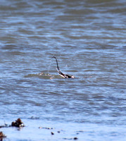 A Long-tailed Duck's tail at North Hampton Beach