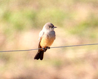 11-20-12 The Famous Say's Phoebe, Merrill's Farm, Pennacook, NH