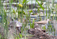 Painted Turtle and a Sandpiper