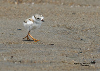 1007 6-day old Piping Plover chick - Hampton Beach State Park - Hampton, NH 07-09-15