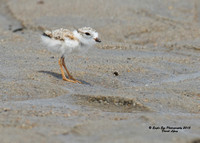 1008 6-day old Piping Plover chick - Hampton Beach State Park - Hampton, NH 07-09-15