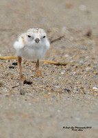 1010 6-day old Piping Plover chick - Hampton Beach State Park - Hampton, NH 07-09-15
