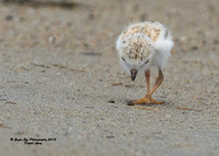 1011 6-day old Piping Plover chick - Hampton Beach State Park - Hampton, NH 07-09-15