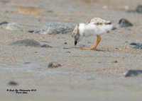 1012 6-day old Piping Plover chick - Hampton Beach State Park - Hampton, NH 07-09-15