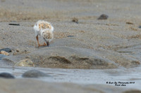 1014 6-day old Piping Plover chicks - Hampton Beach State Park - Hampton, NH 07-09-15