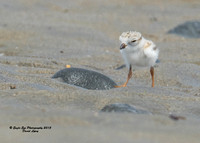 1015 6-day old Piping Plover chicks - Hampton Beach State Park - Hampton, NH 07-09-15
