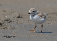 1036 25 Day Old Piping Plover Chick - Hampton Beach State Park - Hampton, NH 07-28-15