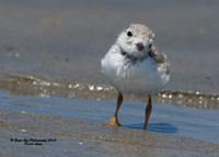 1048 Smile pretty for the camera - 25 Day Old Piping Plover Chick - Hampton Beach State Park - Hampton, NH 07-28-15