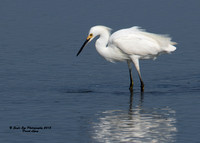 1003 Snowy Egret in a pool by Route 286 - Seabrook, NH 07-28-15