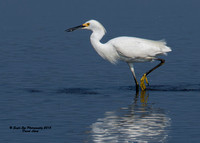 1006 Snowy Egret in a pool by Route 286 - Seabrook, NH 07-28-15
