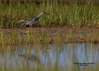 1012 Greater Yellowlegs - In a marsh off Route 286 - Seabrook, NH 07-28-15