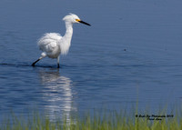 1017 Snowy Egret in a marsh pool off Route 286 - Seabrook, NH 07-28-15