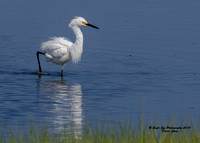 1018 Snowy Egret in a marsh pool off Route 286 - Seabrook, NH 07-28-15