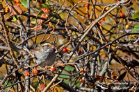 1011PS White-throated Sparrow - Concord Community Garden - Concord, NH 10-26-16