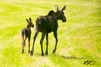 08-07-13 A Moose & her calf visit Horseshoe Pond, along with a Coyote - Concord, NH