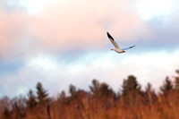 1003PS1 The Snow Goose flies off because a Bald Eagle was flying in - By the Androscoggin River - Milan, NH 12-04-16