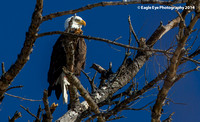 02-12-14  Bald Eagles on the Contoocook & Merrimack Rivers