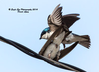 05-14-14 Tree Swallow - Mating Sequence - Bow Town Pond - Bow, NH