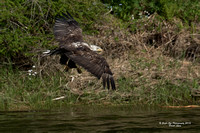 05-26-16 4th Year Bald Eagle - Fishing ++