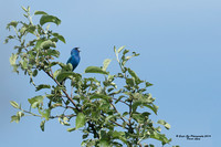 1001PS Indigo Bunting - Heald Street Orchard - Pepperell, MA 05-28-16