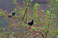 1001PS Bobolinks - Freemont, NH 05-09-17