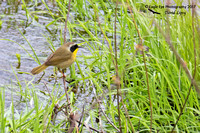 1001PS Male Common Yellowthroat - Kimball Pond & Black Brook - Dunbarton, NH 05-12-17