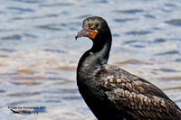 1001PS Double-crested Cormorant - Rye Harbor - Rye, NH 06-26-17