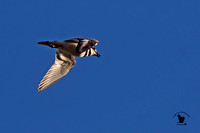 1002PSN Killdeer in flight - At a farm on the Epping-Freemont Line - Freemont, NH, USA
