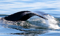"Humpback Whale's Tail Fluke  -  ""Patches"""