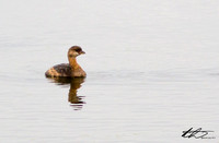 10-13-13 Horseshoe Pond Pied-billed Grebe +