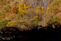 1007PS Bald Eagle over Profile Lake - Shot from the south end of the lake - Franconia Notch, NH 10-14-16