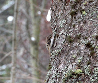 Brown Creeper 01-23-12
