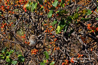 1014PS Song Sparrow - Concord Community Garden - Concord, NH 10-26-16