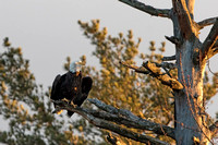 1010PS1 This Bald Eagle says it's time to go - By the Androscoggin River - Milan, NH 12-04-16