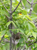 Female Oriole brings food to the nest