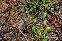 1016PS White-throated Sparrow - Concord Community Garden - Concord, NH 10-26-16