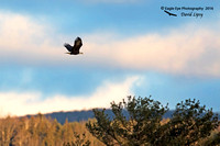 1004PS Bald Eagle - By the Androscoggin River - Milan, NH 12-04-16