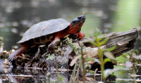 05-13-12 Wood Turtle - Eastman Cove
