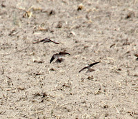Bank Swallows visit the corn field.