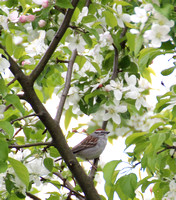 Chipping Sparrow 04-30-12