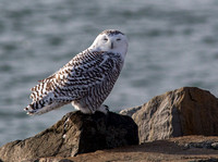 12-04-13 Snowy Owl & More Hampton & Seabrook, NH