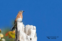 1010PS Male Eastern Bluebird - Abbott State Forest - District #5 Road - Concord, NH 10-11-16