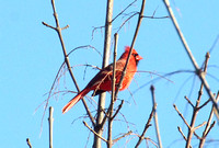 Male Northern Cardinal Henniker, NH 03-06-12