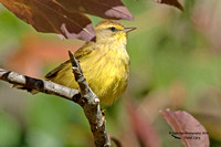1008PS Yellow Palm Warbler - Abbott State Forest - District #5 Road - Concord, NH 10-11-16